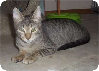 Domestic Shorthair Kitten for adoption in Orlando, Florida - Boodah