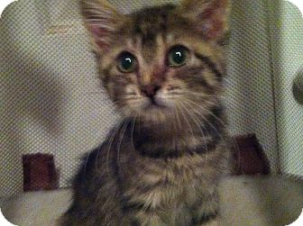 Domestic Shorthair Kitten for Sale in Pittstown, New Jersey - Rosie