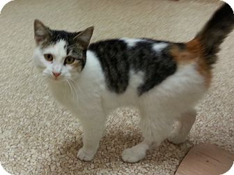 Calico Cat for Sale in Walnut, Iowa - Zoey