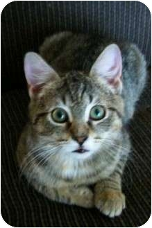 Domestic Shorthair Cat for adoption in Baltimore, Maryland - Lolly