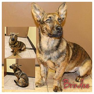 Corgi/German Shepherd Dog Mix Dog for Sale in Westland, Michigan - Brindee