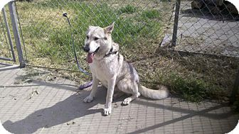 Husky Mix Dog for adption in Yuba City, California - Thor