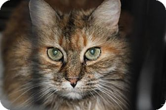 American Bobtail Cat for adoption in Westfield, Massachusetts - Cherokee