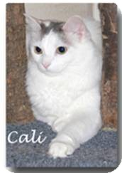 Ragdoll Cat for adoption in Nashville, Tennessee - Cali