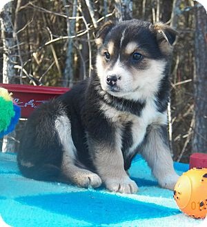 Husky/Shepherd (Unknown Type) Mix Puppy for Sale in Sussex, New Jersey - Magic