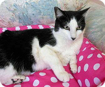 Domestic Shorthair Cat for adoption in Youngtown, Arizona - Sheba