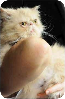 "Persian Cat for adoption in Columbus, Ohio - Desire ""Desi"""