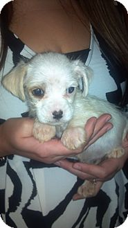 Schnauzer (Miniature)/Shih Tzu Mix Puppy for Sale in Hazard, Kentucky - Tuffy