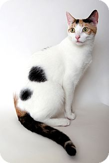 Domestic Shorthair Cat for Sale in Manhattan, New York - Margaux