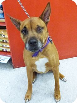 Shepherd (Unknown Type)/Rhodesian Ridgeback Mix Dog for adption in Detroit, Michigan - Riker