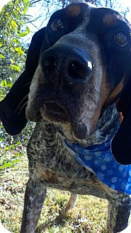 Bluetick Coonhound Dog for adption in Sherman, Connecticut - Fugi