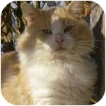 Domestic Longhair Cat for adoption in Ottawa, Ontario - Willy