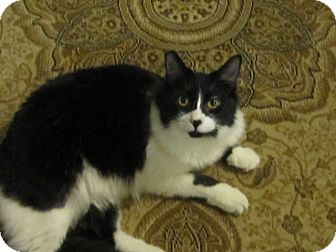 Domestic Mediumhair Cat for Sale in Los Angeles, California - Hailey