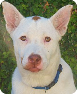 Jack Russell Terrier Mix Puppy for adption in Thousand Oaks, California - Dickens