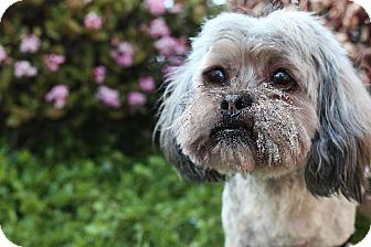 Shih Tzu Dog for adption in Beverly Hills, California - Pudge