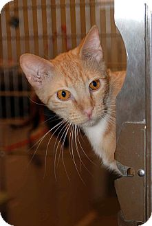 Domestic Shorthair Cat for adoption in Elfers, Florida - Bubba