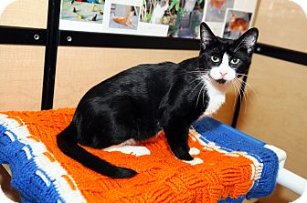 Domestic Shorthair Cat for adoption in Farmingdale, New York - Billy