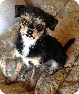 Cairn Terrier Mix Dog for adption in Gilbert, Arizona - Monqui