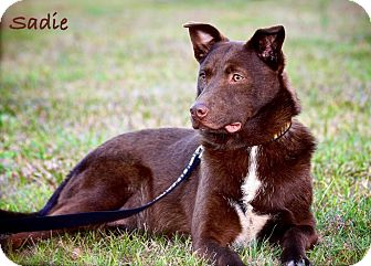 Labrador Retriever/Border Collie Mix Dog for Sale in Wilmington, Delaware - Sadie