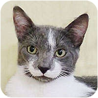 Domestic Shorthair Cat for adoption in Alameda, California - SILVER