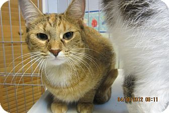 Domestic Shorthair Cat for Sale in Sterling Hgts, Michigan - Ginger