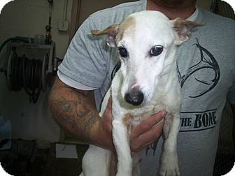 Jack Russell Terrier Mix Dog for adption in Germantown, Maryland - Milton