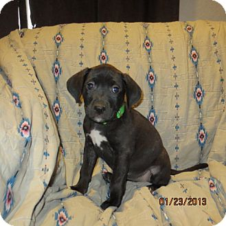 Retriever (Unknown Type)/Catahoula Leopard Dog Mix Puppy for Sale in Westminster, Colorado - Fig