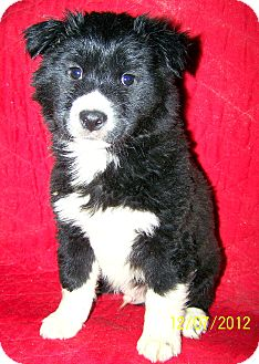 Border Collie Mix Puppy for Sale in Sussex, New Jersey - Bruce