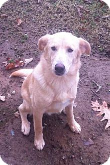 Labrador Retriever Mix Dog for Sale in Nashville, Tennessee - Holly