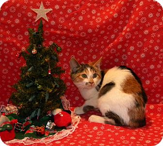 Calico Kitten for Sale in Stafford, Virginia - Lucy