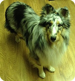 Sheltie, Shetland Sheepdog Puppy for Sale in apache junction, Arizona - Jake