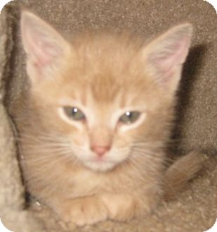 Maine Coon Kitten for Sale in Dallas area, Texas - Butterscotch