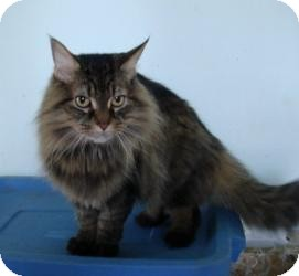 Maine Coon Cat for adoption in Arlington, Virginia - Kobee