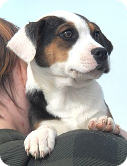 Beagle Mix Puppy for Sale in Sussex, New Jersey - Renegade