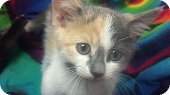 Calico Kitten for Sale in Scottsdale, Arizona - Azula- courtesy post