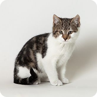 Domestic Shorthair Kitten for Sale in Rockaway, New Jersey - Eggnog
