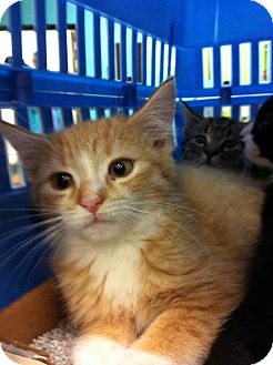 Domestic Shorthair Kitten for Sale in Pittstown, New Jersey - Jessica