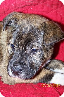 German Shepherd Dog/Boxer Mix Puppy for Sale in Sussex, New Jersey - Winford $50.00 Off Fee