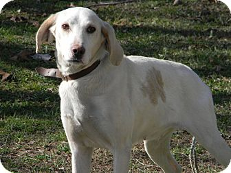 Hound (Unknown Type)/Labrador Retriever Mix Dog for adption in Slanesville, West Virginia - Lana