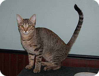 Domestic Shorthair Kitten for adoption in Mesa, Arizona - Tiger