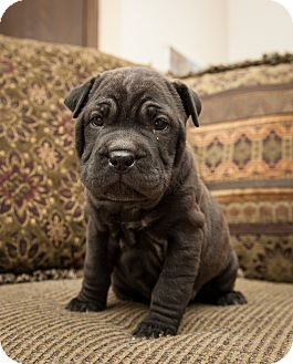 Shar Pei/Labrador Retriever Mix Puppy for Sale in Howell, Michigan - Jewels