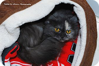 Persian Cat for Sale in Lincoln, Nebraska - Chloe
