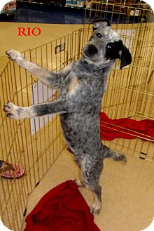 Australian Cattle Dog Mix Puppy for Sale in Silsbee TX, Texas - Rio