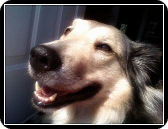 Collie/Husky Mix Dog for Sale in Laval, Quebec - Angel