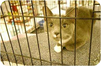 American Shorthair Cat for adoption in Chino, California - Peter and Pixley