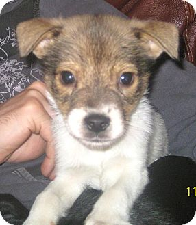 Sheltie, Shetland Sheepdog/Border Collie Mix Puppy for Sale in Chicago