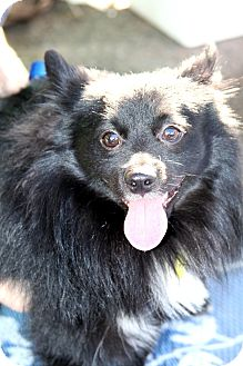 Pomeranian/Schipperke Mix Dog for Sale in Phoenix, Arizona - Baby Bear