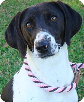 Hound (Unknown Type) Mix Dog for Sale in Red Bluff, California - Artimus