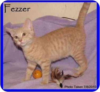 Domestic Shorthair Cat for Sale in Orlando, Florida - Fezzer