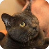 Domestic Shorthair Cat for Sale in Albany, New York - Kenny